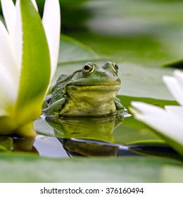 Marsh frog sits on a green leaf among white lilies in the pond