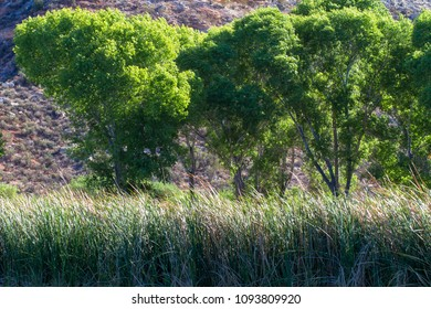 Marsh grasses and tall Cottonwood trees in Dead Horse Ranch State Park near Cottonwood, Arizona