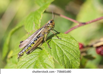 Marsh Grasshopper in a Macro shot
