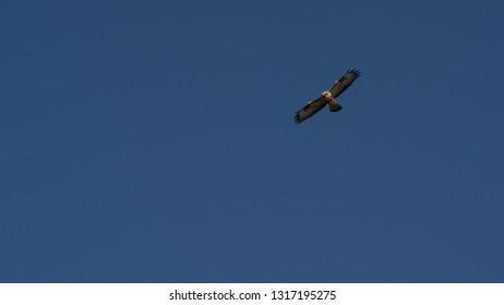 Marsh harrier, Ameland wadden island holland