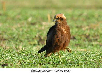 Marsh harrier (Circus aeruginosus) female,on a field, with green grass
