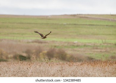 Marsh harrier (Circus aeruginosus) gliding over the fields at Bowers Marsh, England