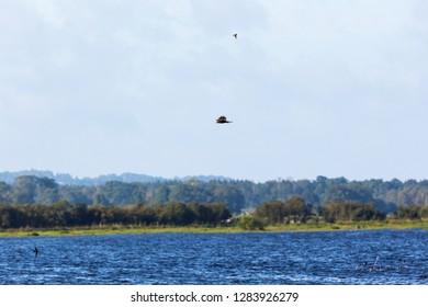 Marsh harrier flying over the water