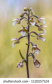 Marsh helleborine (Epipactis palustris) orchid blooming with bright colored yellow background