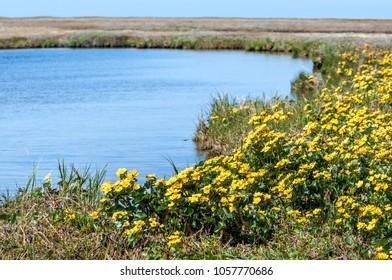 Marsh Marigold (Caltha palustris) in Barents Sea coastal area, Timan tundra, Nenets Autonomous Okrug, Arkhangelsk Region, Russia