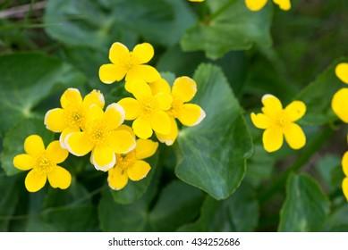 Marsh Marigold, Caltha palustris plant and yellow flowers on the Faroe Islands