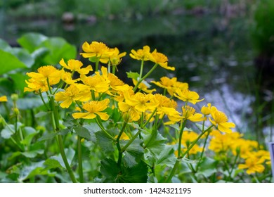 Marsh Marigold Caltha palustris yellow flowers against the backdrop of swamp pond water, selective focus. Marsh flowers wild poisonous, Marigold Caltha used in homeopathy