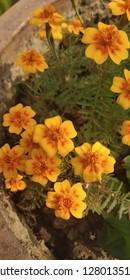 Marsh Marigold of my Garden