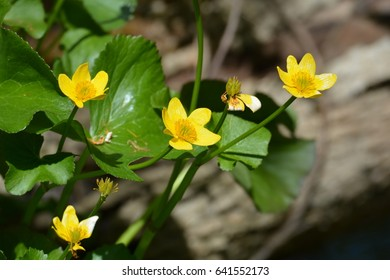 Marsh Marigold Wildflower - Shutterstock ID 641552173