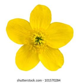 Marsh Marigold Yellow Flower Isolated on White Background. Caltha Palustris Macro Detail