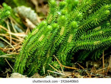 A marsh plant Lycopodium clavatum in the forest.Blooming stagshorn clubmoss, Lycopodium clavatum growing in the green spring forest, botanical natural background