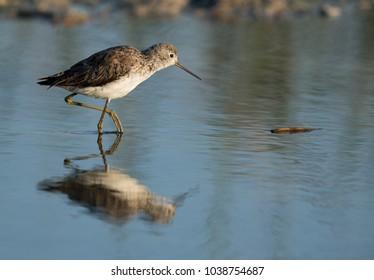 Marsh Sandpiper at Asker Marsh, Bahrain
