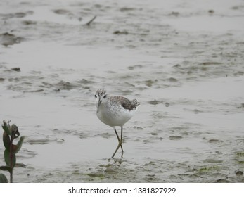 Marsh sandpiper is a small wader. Its long bill and yellowish legs are similar to other sandpipers. As a migratory bird, they migrate to warmer areas and winter in marshes, swamps and wetlands.