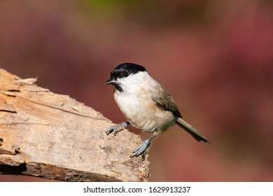 Marsh tit (Parus palustris) on a branch in sunny day