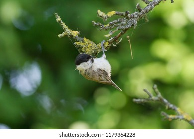marsh tit (Poecile palustris). The marsh tit (Poecile palustris) hangs on a thin branch down its head