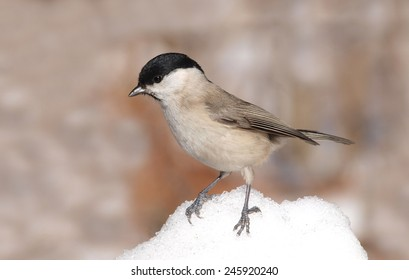 Marsh Tit (Poecile palustris) on Snow