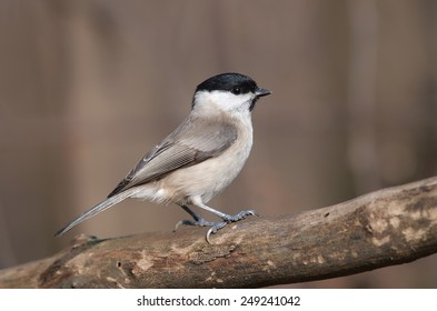 Marsh Tit (Poecile palustris) perching on a branch