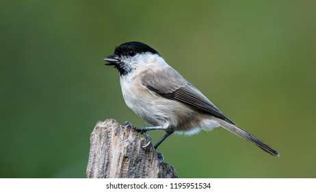 The Marsh Tit (Poecile/Parus palustris) in profile perching on top of the stump with a green defocused background