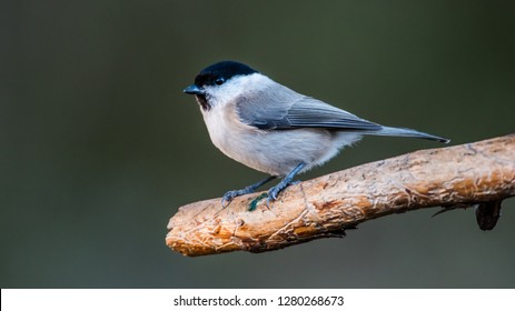 The Marsh Tit (Poecile/Parus palustris) in profile perching on the old pine branch with a green defocused background