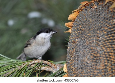 marsh tit in winter