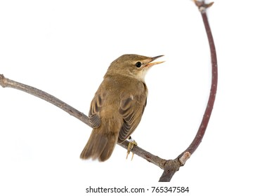 Marsh Warbler (Acrocephalus palustris) in front of white background, isolated.
