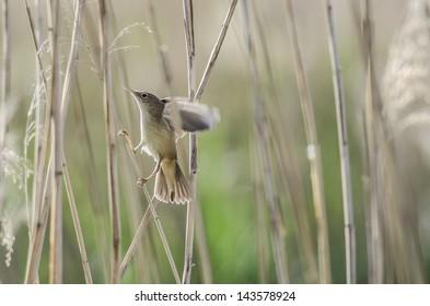 Marsh warbler on branch.