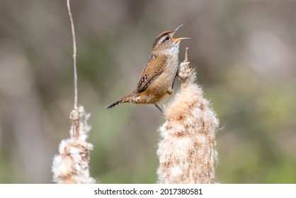 """A marsh wren """"Cistothorus palustris """" sings for a mate from cattail reeds in a marsh."""