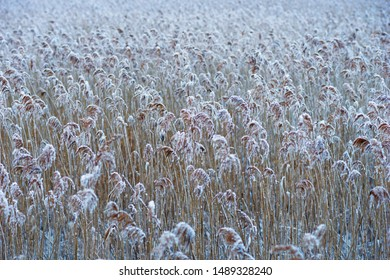 Marshland with reeds covered in rime frost