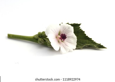 Marshmallow (Althaea officinalis) flower isolated on white.