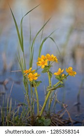 A marsh-marigold herbaceous plant with flowering stems.