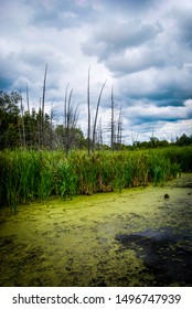 Marshy land with green algae and bullrushes on a moody, cloudy day with no one around