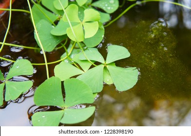 Marsilea quadrifolia or aquatic fern green plant on water surface