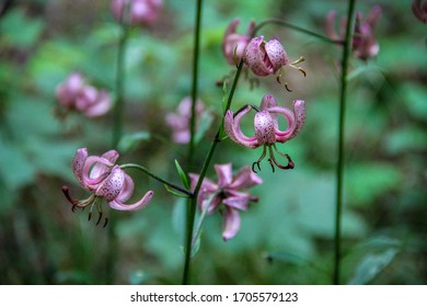 Types Of Lilies Images Stock Photos Vectors Shutterstock