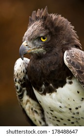 Martial Eagle against a background of blurred dark brown leaves/Martial Eagle/Martial Eagle