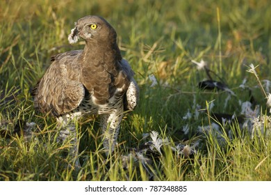 A Martial Eagle feeding on prey in Africa's Ngorongoro Conservation Area.