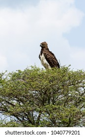 Martial Eagle sitting in a tree top and looking for something to hunt