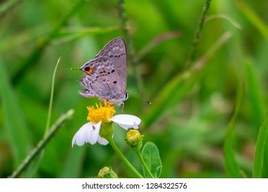 Martial scrub hairstreak butterfly (Strymon martialis) on small flower - Pembroke Pines, Florida, USA