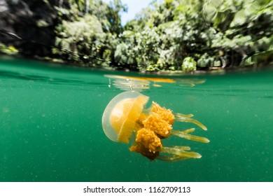Martigias Papua Jellyfish, Jellyfish lake, Misool, Indonesia