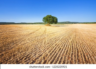 Martina Franca, Apulia, Italy - A single old tree remaining on a field after harvesting