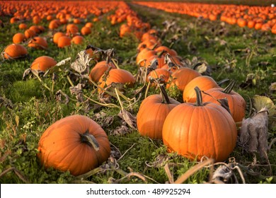 Martindale Pumpkin Patch Farm series - Fresh and well grown pumpkins in field,Victoria BC Canada 2.