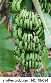 MARTINIQUE, FRANCE - Green bananas on banana tree