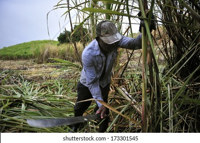 MARTINIQUE - March 12 2011 :  farmers harvesting sugarcane by hand in the field, Martinique, Caribbean Sea. Martinique is famous for its premium rum.