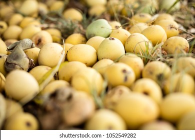 Marula fruit, South Africa in February