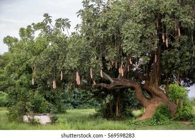 Marula Tree