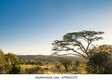 Marula tree on the lateral with african savannah landscape