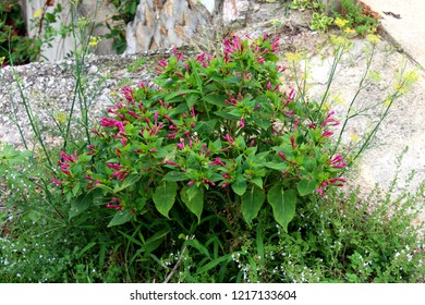 Marvel of Peru or Mirabilis jalapa or Four oclock flower or Beauty of the night or Coat of many colours long-lived perennial herb shaped like a bush with egg-shaped in outline with broad end