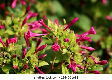 Marvel of Peru or Mirabilis jalapa or Four oclock flower or Beauty of the night or Coat of many colours long-lived perennial herb with closed tubular dark pink flowers surrounded with light leaves