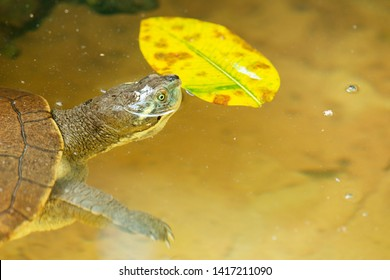 Mary River Turtle amongst nature during the day