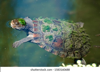 Mary River Turtle swimming in the pond during the day