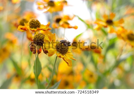 maryland state flower bee on flower stock photo edit now 724518349